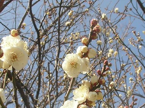 ウメ 晩冬 白い花