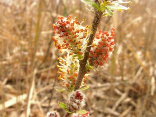 ノヤナギ 春 黄色い楕円形の花穂