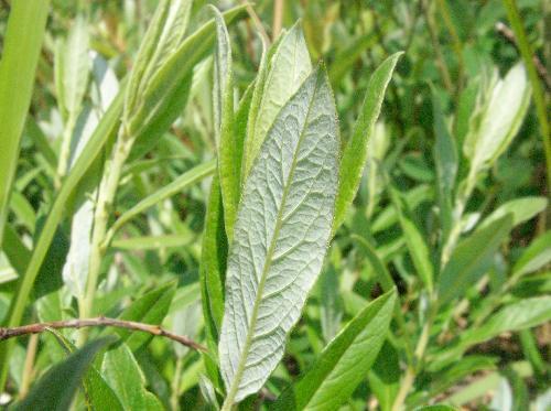 ノヤナギ 細長い楕円形新しい葉は長軟毛を密生 互生対生
