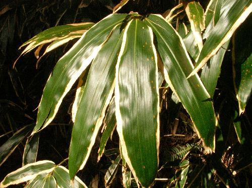 ミヤコザサ 葉先は段々細くなる 冬には縁が白くなる