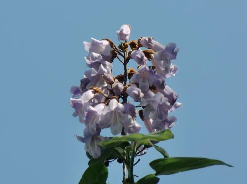 キリ 晩春 紫