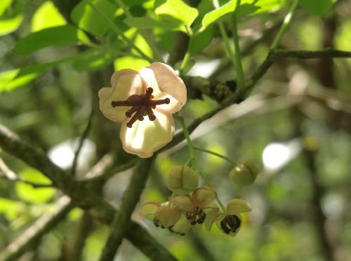 アケビ 晩春 白い雌花(手前)と雄花