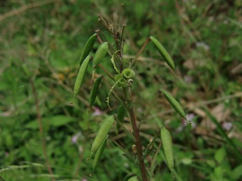 ムラサキケマン 晩春 茶緑色に熟すサヤ状の実 はじけて種子を飛ばす