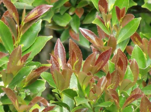ヒサカキ 新芽は赤茶色