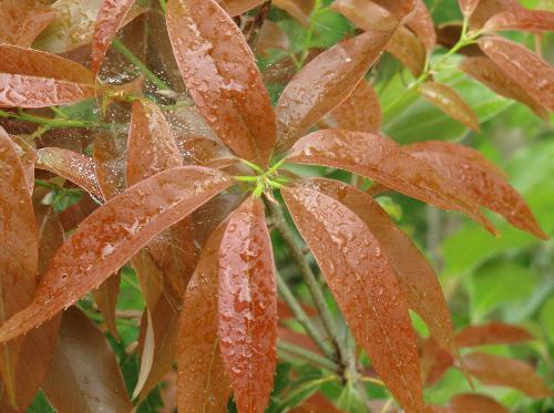 ウラジロガシ 赤茶色の新芽