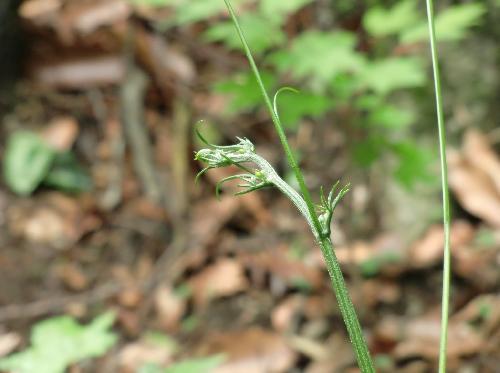 モミジカラスウリ ほとんど葉は目立たず長い巻きひげが目立つ