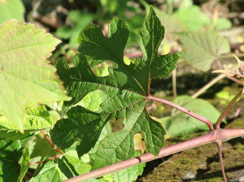ノブドウ 5深裂 キレハノブドウ