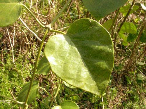 キジョラン 全縁 広卵形からハート型 対生 厚くてやや光沢のある葉