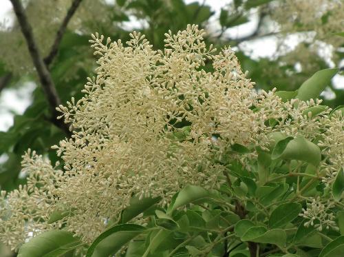 シマトネリコ 初夏 ごく小さな白い花