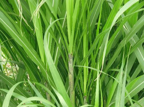 オギ 細長く茎の縁にはナイフのようなギザギザがありよく切れる