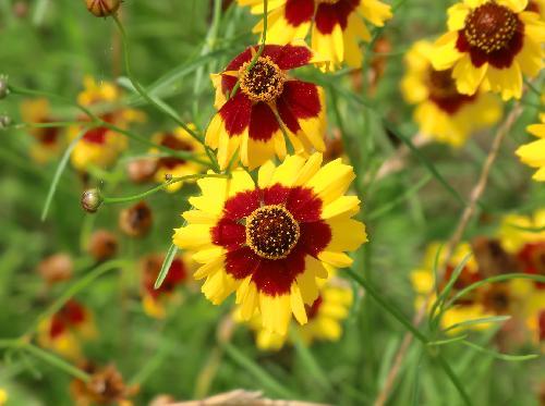 ハルシャギク 初夏 黄色と茶色