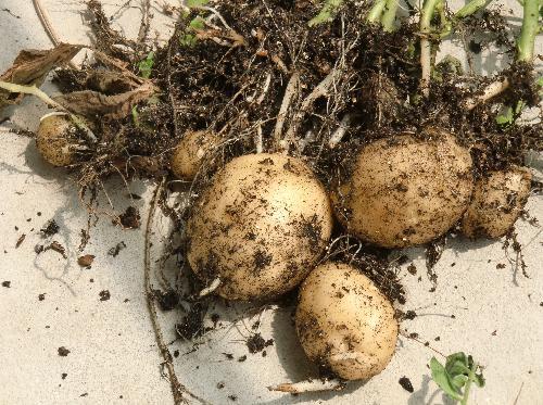ジャガイモ ジャガイモ 可食部は地下茎