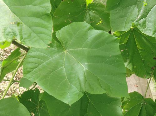 キリ 大きな葉 5浅裂 円ハート型 鋸歯