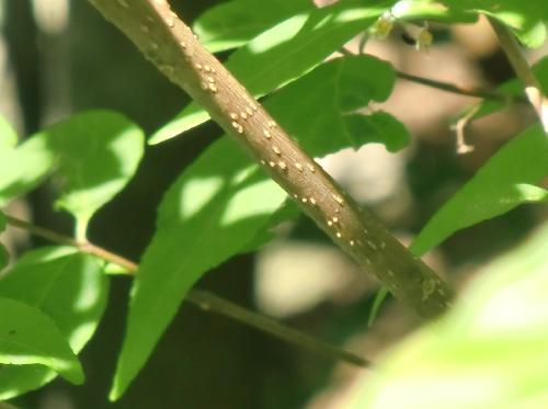 ムラサキシキブ 白褐色の肌に白い皮目が入る