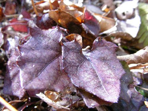 キッコウハグマ 赤紫色に紅葉
