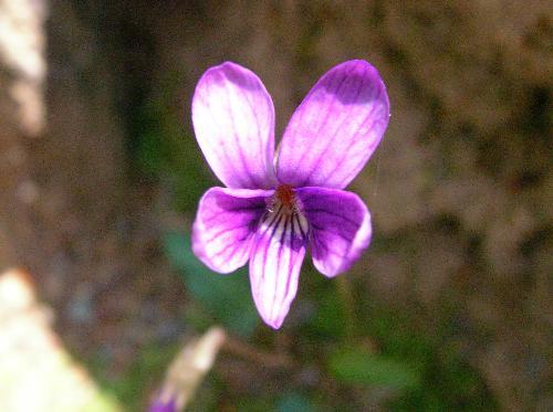 ヒメスミレ 春 紫色