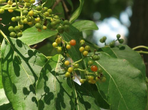 チシャノキ 実は小さな球形 晩夏 オレンジ色に熟す