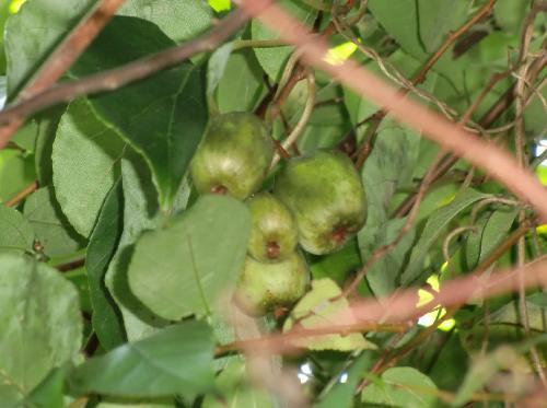 サルナシ 秋黄緑色のキウィのような楕円形の実