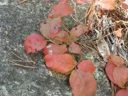 ナツハゼ 秋赤く紅葉する 楕円形互生鋸歯