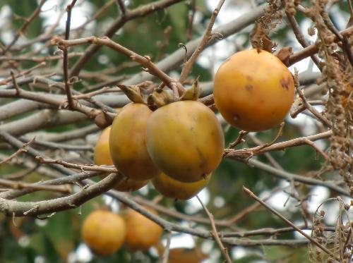 ヤマガキ 晩秋 楕円形 橙