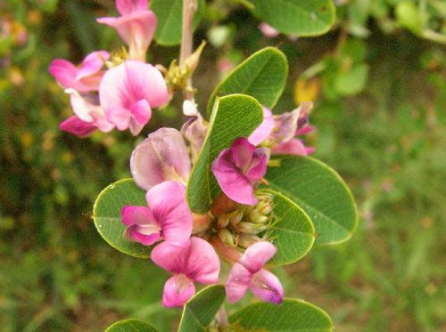 マルバハギ 秋 ピンク赤紫色