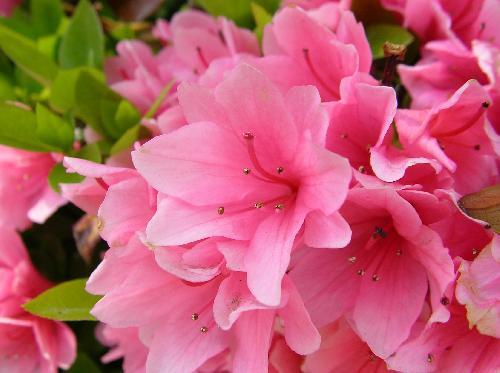 クルメツツジ 春 ピンク