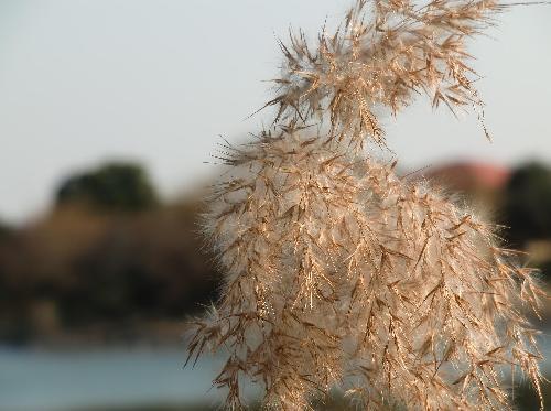 ヨシ 秋冬 ススキの穂に似た綿毛