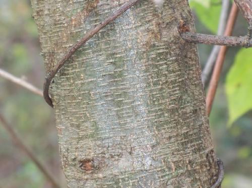 ヤマハンノキ 緑褐色 横方向に皮目が入る