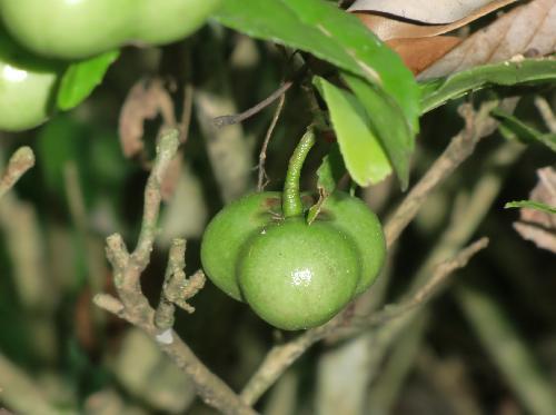 チャノキ 初秋 茶色に熟す 半月が田の茶色い3個の種子が入っている