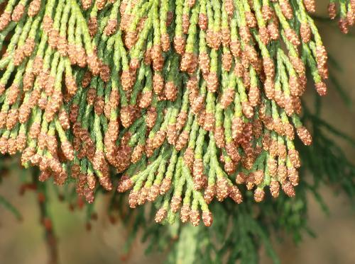 ヒノキ 早春 葉の先端に多数付いた茶褐色の雄花