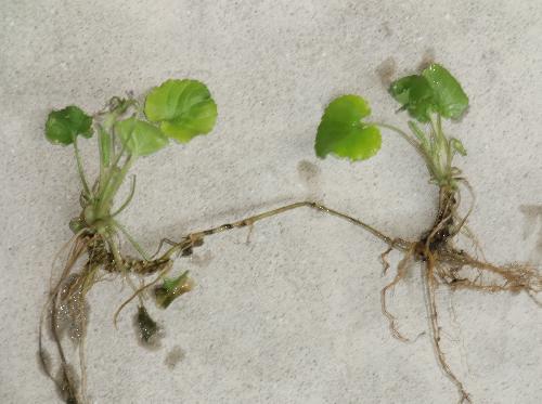 アオイスミレ 匐枝で広がる 茎の基部はワサビのように太くなる