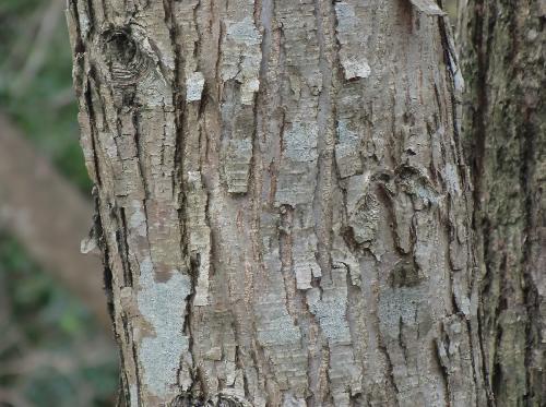 カツラ 灰褐色で縦長の短冊状にはがれる