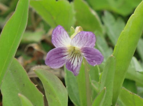 アリアケスミレ 晩春 紫の濃い個体