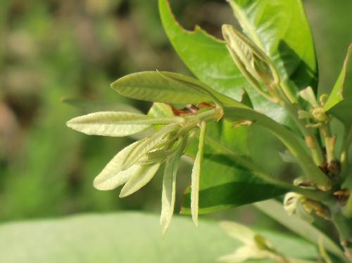 マテバシイ 白みを帯びた明るい黄緑色 ややしなだれる