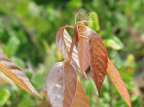 アラカシ 新芽は紫茶色