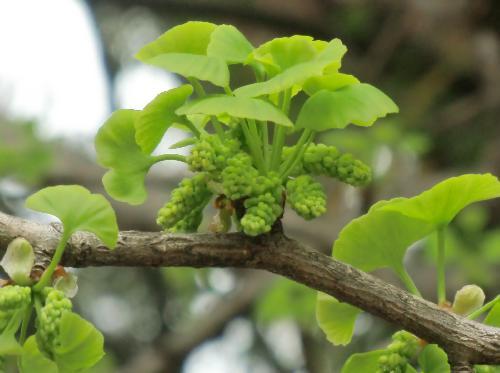 イチョウ 黄緑色の新芽 花芽も一緒に出る