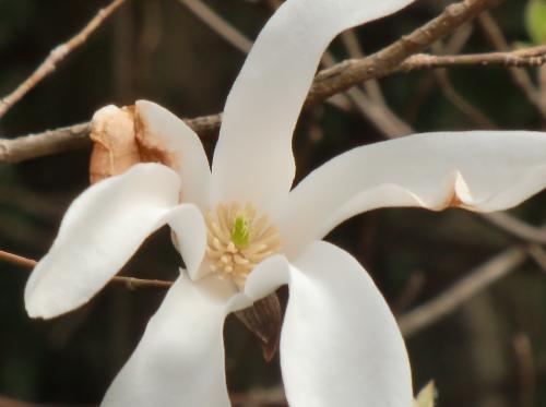 タムシバ 春 白い花