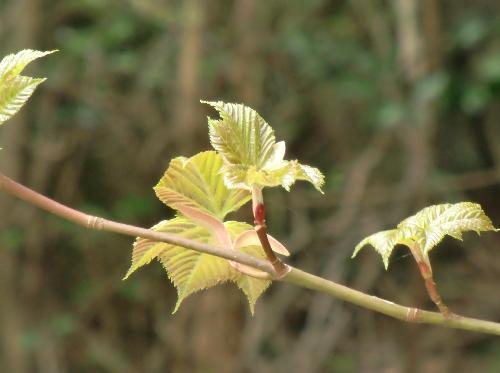 ウリハダカエデ やや赤みを帯びた新芽