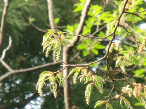 イヌシデ 春 黄緑色の雄花