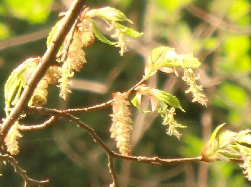 イヌシデ 春 黄緑色 雄花は枝先に、雌花は枝の付け根側に付く