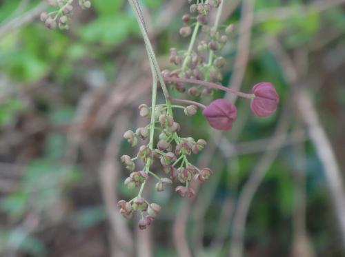 ミツバアケビ 晩春 花房は1個の雌花と数個の雄花で構成される