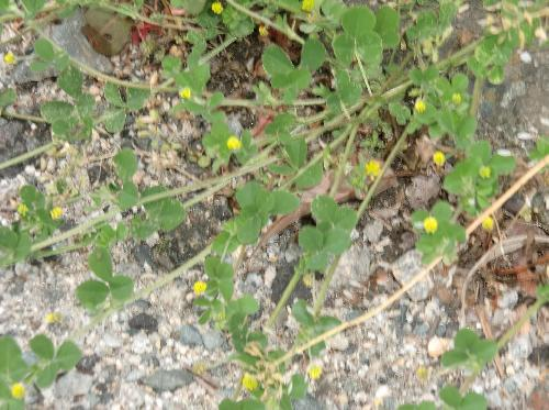 コメツブウマゴヤシ 邪魔者がいないと節が大きく伸びる 葉っぱはまばら