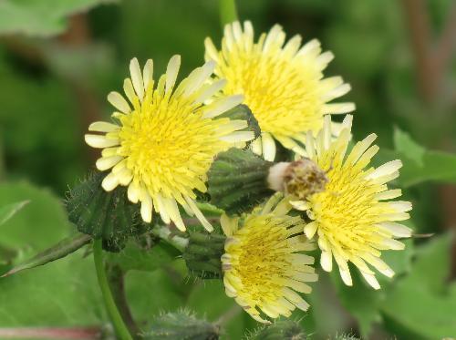 ノゲシ 春 黄色い花