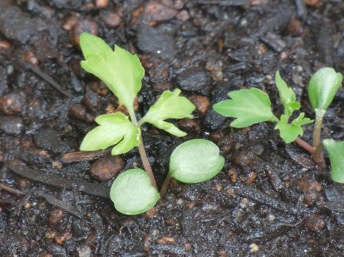 エイザンスミレ 円形の子葉 先端はくぼむ 本葉はヒゴスミレに比べ幅が広い