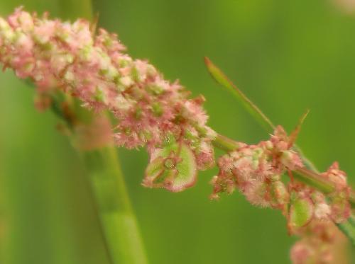 スイバ 春 赤茶色の雌花