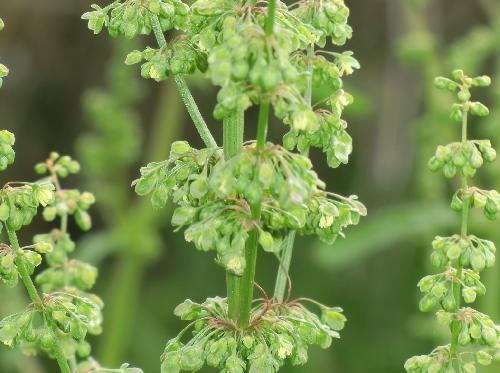 ギシギシ 春 緑色の雄花