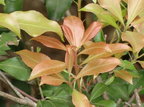 アセビ 赤茶色の新芽