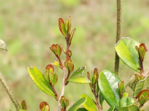 ハマヒサカキ 明るい黄緑色で縁は赤茶色