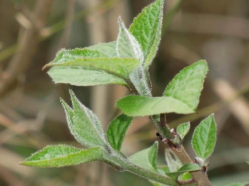 クサギ 新芽は白い毛が目立つ 葉柄は黒紫