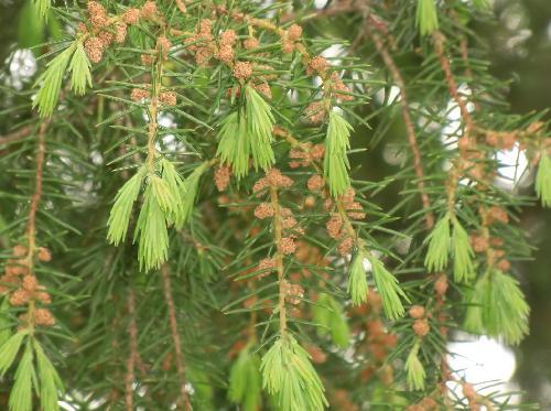ネズ 春 丸い茶褐色の雄花